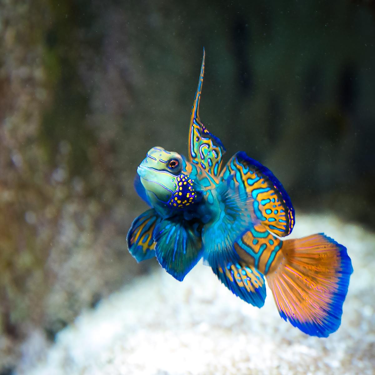 Mandarinfisch im Aquarium unseres Kunden