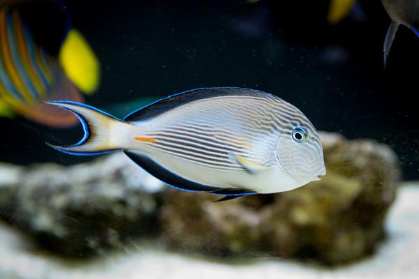 Doktorfisch aus dem Roten Meer