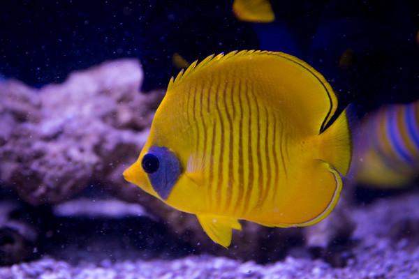 Fische vom Roten Meer: Falterfisch