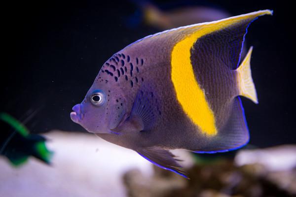 Fische vom Roten Meer: Kaiserfisch