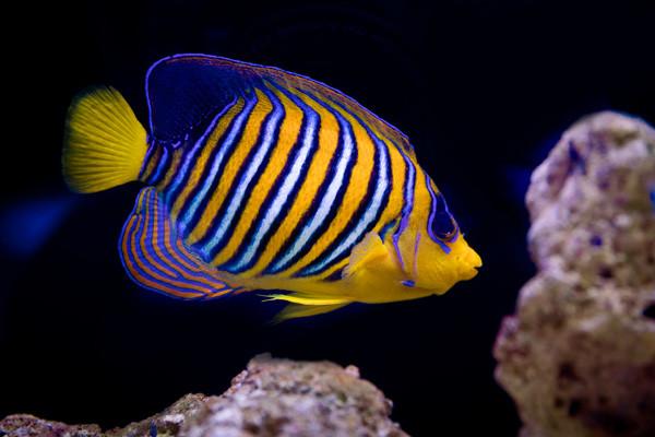 Fische vom Roten Meer: Zwerg Kaiserfisch