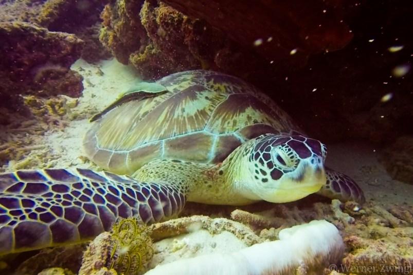 Schildkröte - zum KRC Webshop